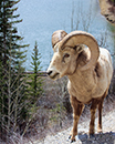 Big Horn Sheep near Lake Minnewanka