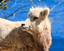 Mountain Sheep- Kid off Bow Highway by Lake Minnewanka